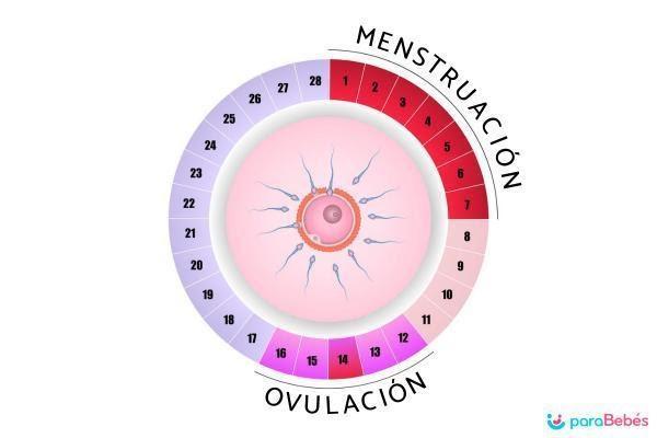 Cómo saber si estoy ovulando: síntomas y cálculo - Cuándo se ovula